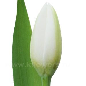 тюльпан Холанд сноу