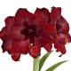 амариллис бордовый