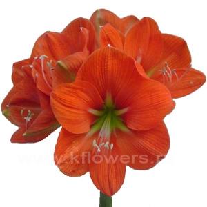 амариллис оранжевый