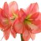амариллис розовый