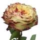 роза X-фактор