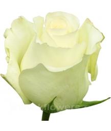rose_Anastasia