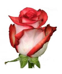 rose_Blush
