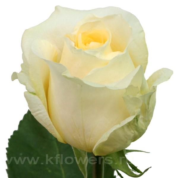 Роза крем для крем