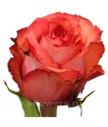 rose_Iguana