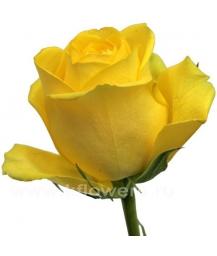 rose_Latina