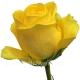 роза Латина