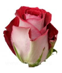 роза_Latin Lady