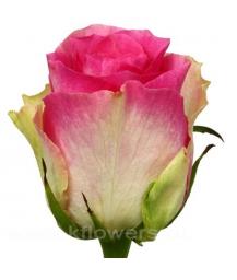роза_Malibu
