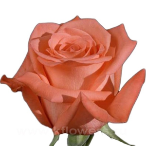роза Муви Стар
