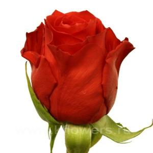 роза Стар 2000