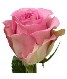 роза_Sweet Unique