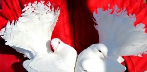 Голуби на свадьбу в аренду для запуска, Мытищи