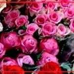 Бесподобные кенийские розы с плантации Red Lands Roses